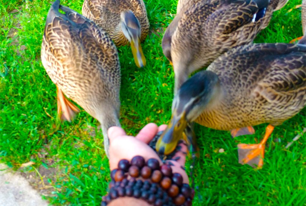 Ducks eating out of our hands